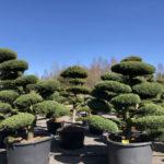 Tvarované stromy Impeka 2018 - 11