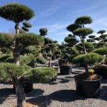 Tvarované stromy Impeka 2018 - 14