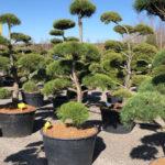 Tvarované stromy Impeka 2018 - 15