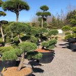 Tvarované stromy Impeka 2018 - 16