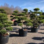 Tvarované stromy Impeka 2018 - 17