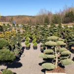 Tvarované stromy Impeka 2018 - 18
