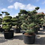 Tvarované stromy Impeka 2018 - 19