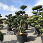 Tvarované stromy Impeka 2018 - 21