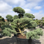Tvarované stromy Impeka 2018 - 22