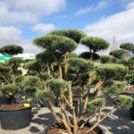 Tvarované stromy Impeka 2018 - 23