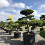 Tvarované stromy Impeka 2018 - 25