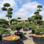 Tvarované stromy Impeka 2018 - 26