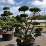Tvarované stromy Impeka 2018 - 27