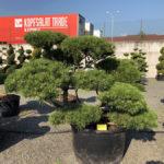 Tvarované stromy Impeka 2018 - 29