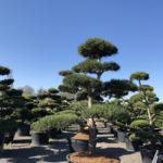 Tvarované stromy Impeka 2018 - 31
