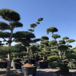 Tvarované stromy Impeka 2018 - 32