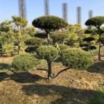 Stromy na plantážích - 20