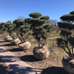 Stromy na plantážích - 14