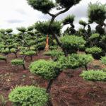 Stromy na plantážích - 08