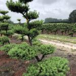 Stromy na plantážích - 32