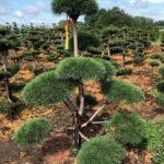 Stromy na plantážích - 31