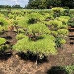 Stromy na plantážích - 21