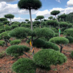 Stromy na plantážích - 18