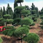 Stromy na plantážích - 29