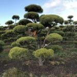 Stromy na plantážích - 09