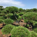 Stromy na plantážích - 11