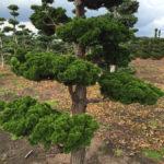 Stromy na plantážích - 06