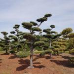 Stromy na plantážích - 16
