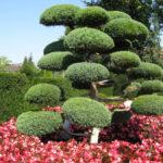 Tvarované stromy - niwaki - 3