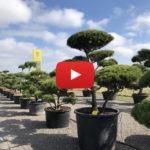 Tvarované stromy (niwaki) - IMPEKA