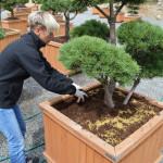 Hnojení zahradní bonsaje