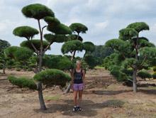 Tvarované stromy na plantážích