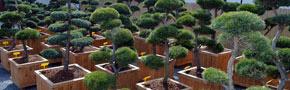 okrasné-stromy---nové-stromy-skladem