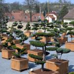 showroom okrasných stromů 2