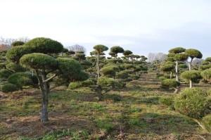 tvarovaný okrasný strom 41